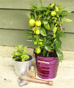 Cmas Jill make mine a mojito set plants4presents lime tree